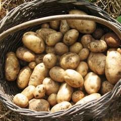 Patata Kennebek saco 25 Kg con gastos de envío incluidos.